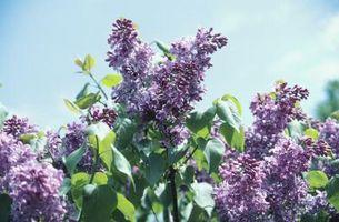 Cómo mantener fresco del corte lila arbustos fresca