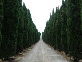 Cuándo regar un árbol de Cypress italiano?