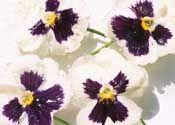 Cómo conservar las flores con glicerina