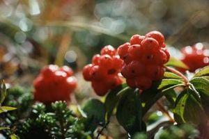 Cómo identificar las hojas con las bayas rojas