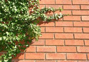 Tipos de hiedra que crecen en los lados de Casas
