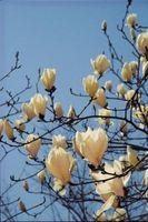 Los árboles ornamentales chinos