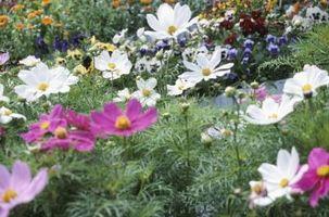 Planta con flores blancas y púrpura tallos