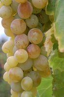 Cuánto fertilizante para las vides de uva?