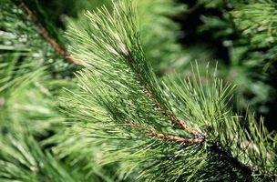 ¿Por qué está dando vuelta Mi árbol de pino de Brown?