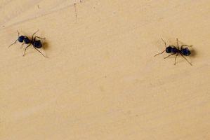 Maneras de matar a las hormigas en su casa