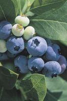 Cómo germinar semillas Blueberry en musgo de turba