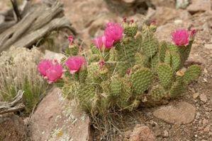 Guía de la flor del cactus