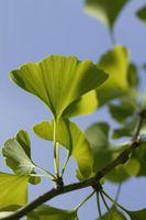 Mi árbol de Ginkgo está creciendo lentamente