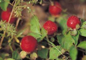 Se puede excavar un Frambuesa Bush en la primavera para trasplante?