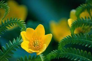 Las flores más fragantes a partir de semillas