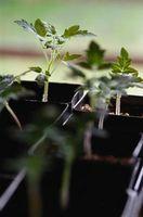 ¿Cuánto suelo de plantas Diez plantas de tomate?