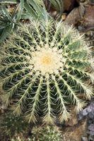 Cactus de barril de germinación