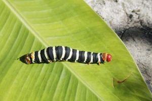 Plagas de jardín: Las orugas negro con blanco y rojo de las rayas