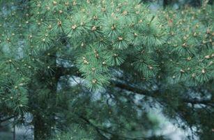 ¿Cómo hacer crecer una conífera De un cono de pino