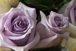 ¿Por qué las rosas púrpuras Rebud como rosas rojas?