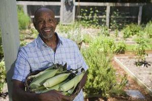 Cómo cultivar semillas híbridas de maíz