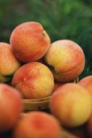 ¿Necesita Dos árboles de durazno enanos a dar sus frutos?
