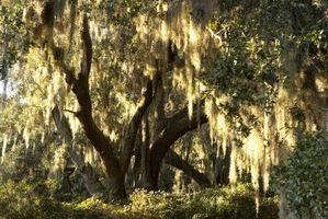 ¿Por qué son los árboles de sauce encuentra cerca del agua?