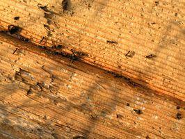 Las hormigas carpinteras y mantillo de cedro
