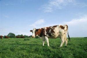 ¿Cuánto tiempo estiércol de vaca tenemos que envejecer para ser bueno para un jardín?