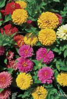 ¿Cuál es el tiempo de duración, desde la semilla hasta la flor completa de los Zinnias?