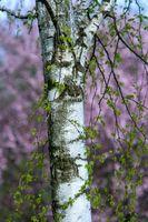 Alder Información de madera