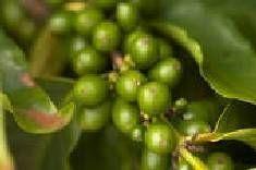 Cómo plantar granos de café