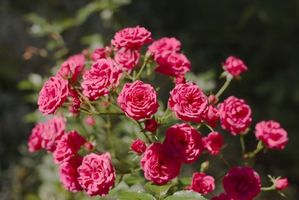Cómo regar los rosales