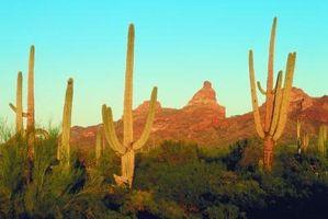 Variedades de cactus Twisted