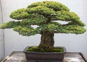 ¿Cómo hacer crecer plantas Bonsai