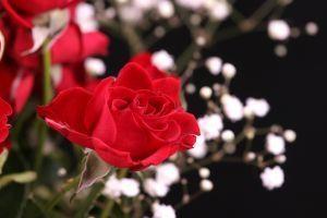 Cómo reproducir las rosas