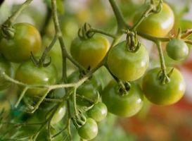 Enfermedades de las plantas de tomate y el hongo de Identificación