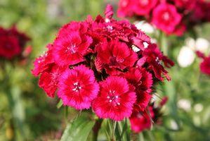 Flores perennes enanas que florecen en la primavera
