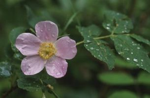 Flor significados & Wild Rose