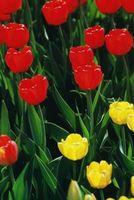 Es un tulipán una anual?