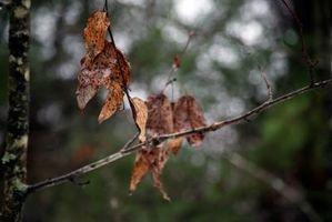 Cómo podar las hojas muertas de los árboles