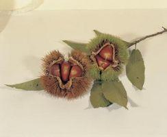 Comestible árboles de casta