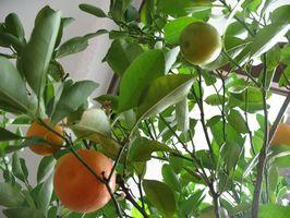 Lo que para rociar los árboles con naranja