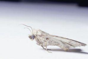 Cómo matar a las polillas y Larva