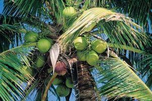 Las diferentes variedades de cocos enanos