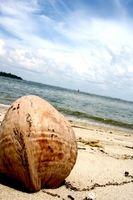 Cómo iniciar una palmera del coco
