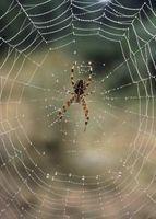 Seguro de Plaguicidas para las arañas de las plantas florales