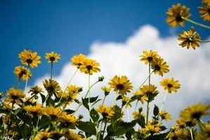 ¿Cuánto tiempo después de la siembra semillas de un girasol de la floración?