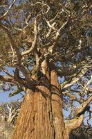 Cómo plantar un pino Ponderosa