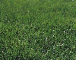 Cómo eliminar las malezas en Bermuda Grass Turf