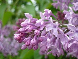 Cuando a plantar árboles lila
