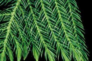 Cómo propagar árboles de pino de Norfolk
