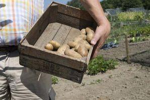 ¿Qué significa cuando una planta de patata Flores?