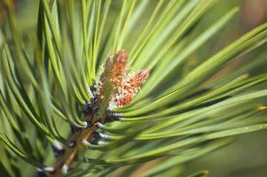 El cuidado de los árboles de pino en el desierto